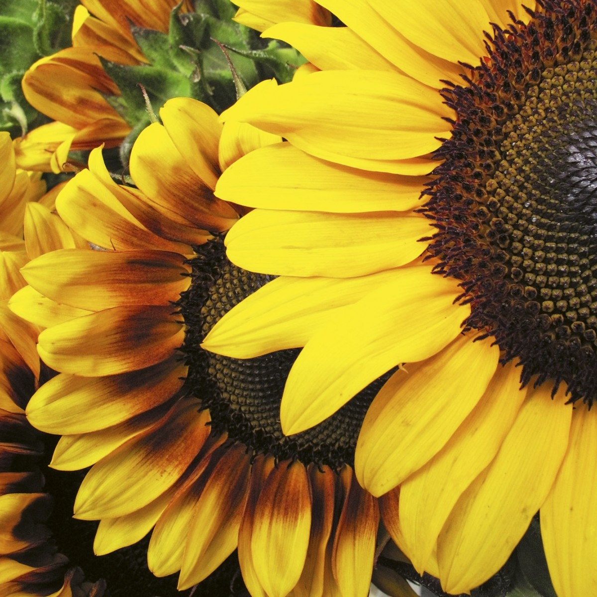 Foto tapet 3D Sunflowers, Dimex, 5 fâșii, 375 x 250cm