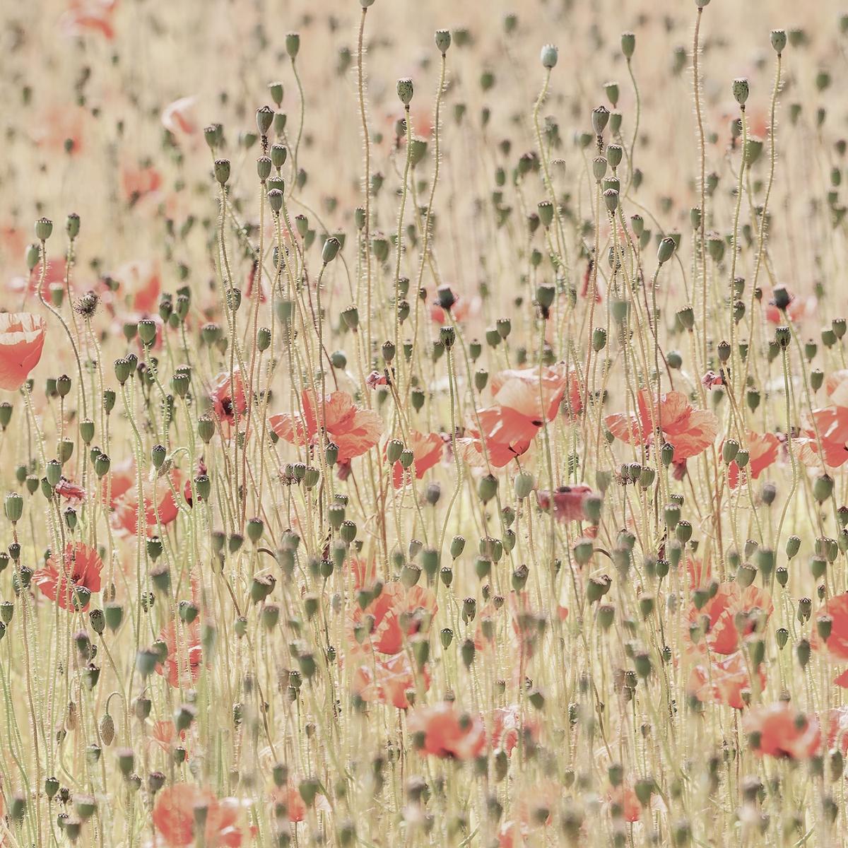 Fototapet Poppies, personalizat, Rebel Walls