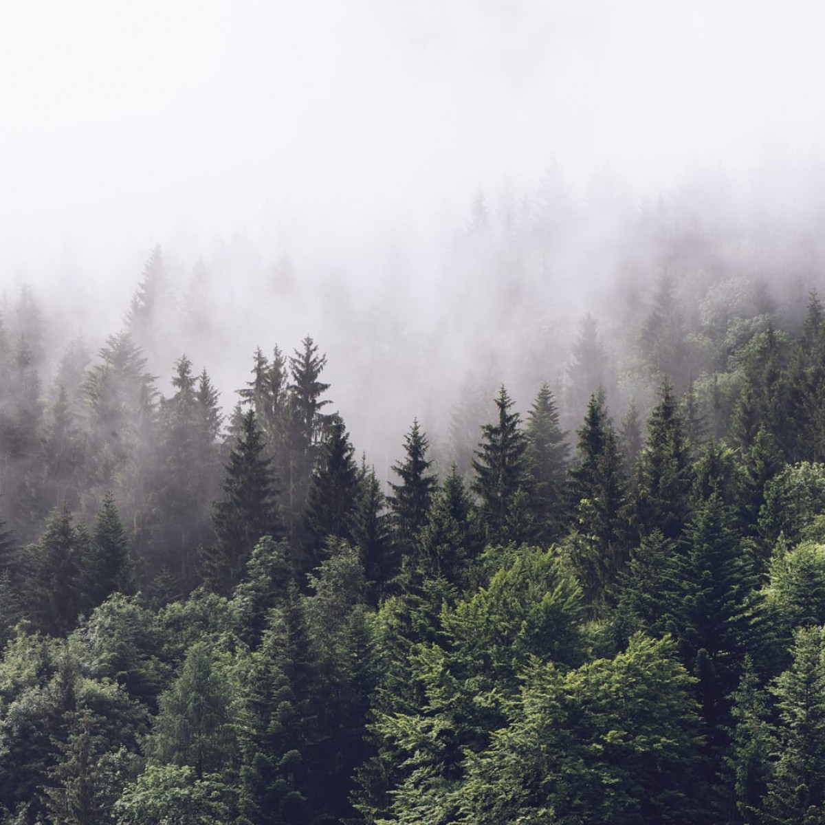 Foto tapet 3D  Misty Fir Forest, personalizat, Rebel Walls
