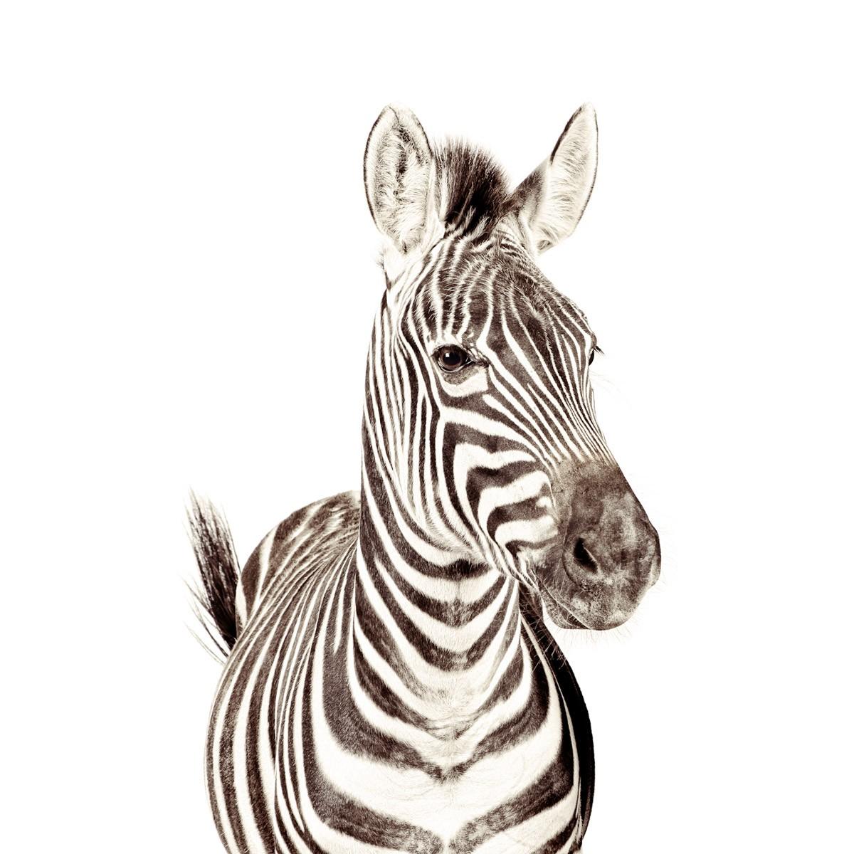 Tapet magnetic, zebra