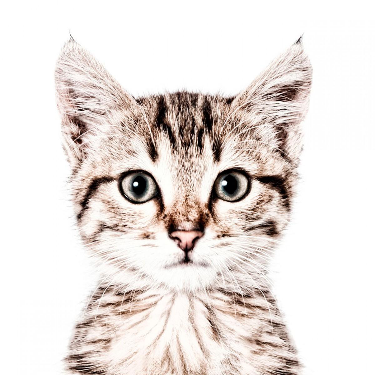 Tapet magnetic, pisica