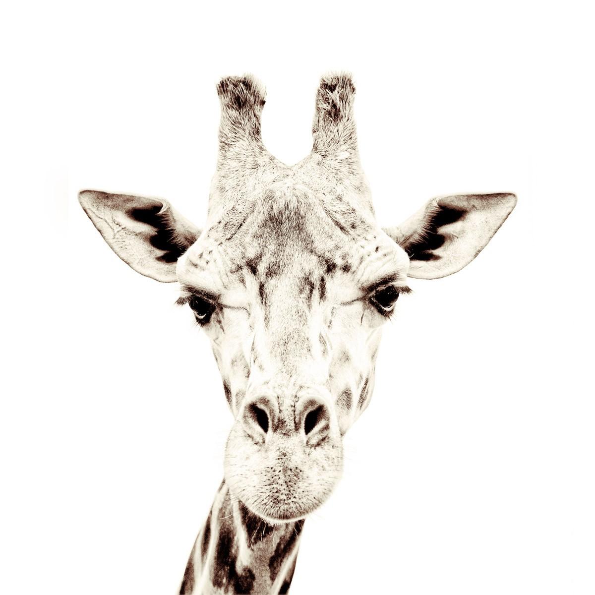 Tapet magnetic, girafa