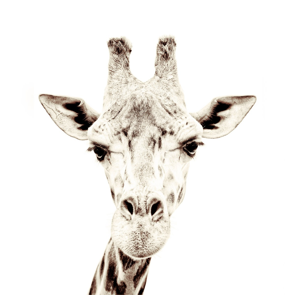 Tapet Magnetic-girafa-63 5x265